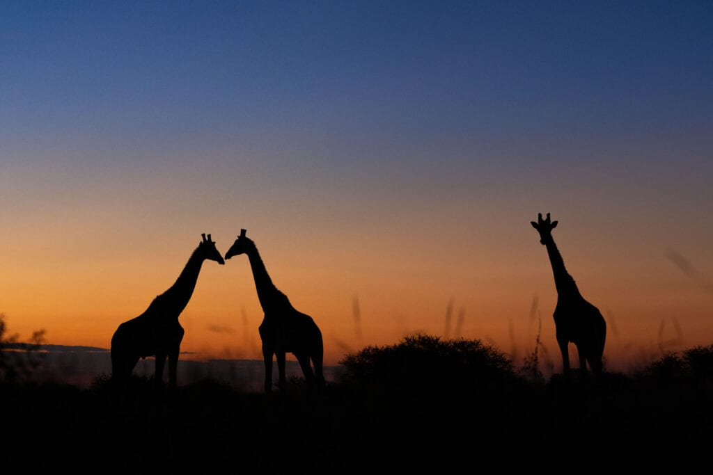 Photographic Safaris, Photographic Tours, Walkers River Camp, Giraffe Silhouette