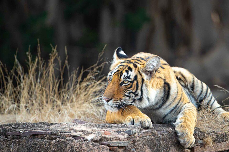Tiger, India, Resting, Photographic Safaris, Photographic Tours