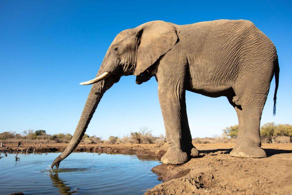 Mashatu Hide, Hide Photography, Elephant Trunk, Elephant, Botswana, Mashatu Private Game Reserve, Tuli Block, Travel Africa, Explore Botswana, Big Five, Luxury Destinations, Tuli Block Botswana, Africa, Conservation, elephant drinking, Land of the giants, Photographic Safaris, Photographic Tours
